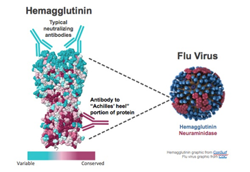 Figure 4: The structure of HA, showing its head and more conserved stem Source: https://www.gene.com/stories/targeting-the-achilles-heel-of-influenza-viruses