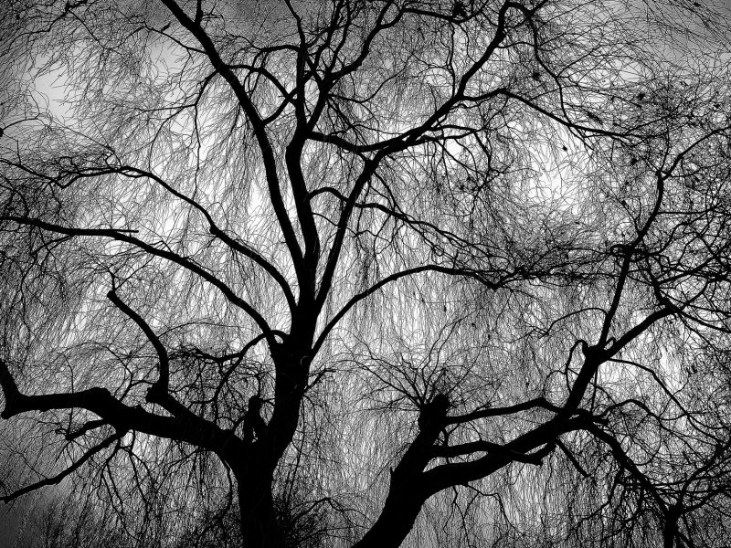 https://pixabay.com/photos/weeping-willow-willow-tree-branch-3089113/